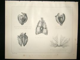 Miles Practical Farriery C1875 Antique Print. Anatomy of The Horse, The Thoracic Viscera